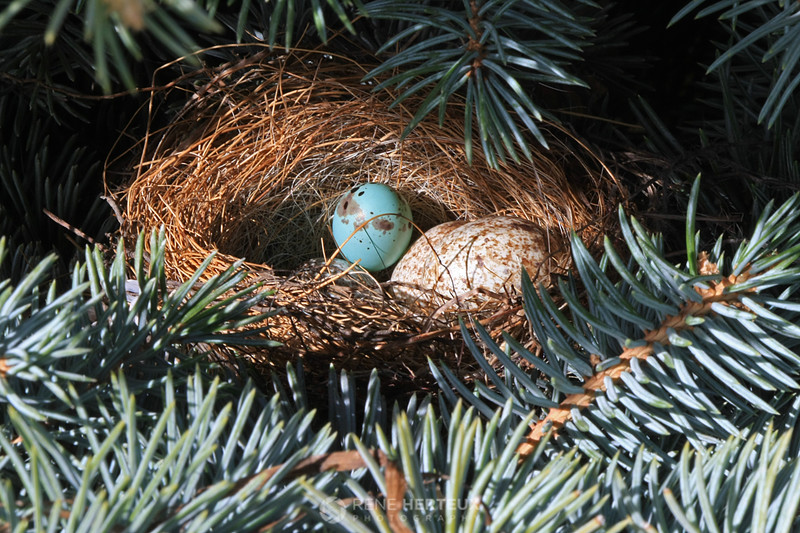 Chipping sparrow and cowbird eggs