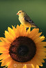 Female goldfinch on sunflower