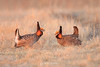 Prairie chickens squaring off