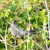 Gray Catbird<br /> North Carolina