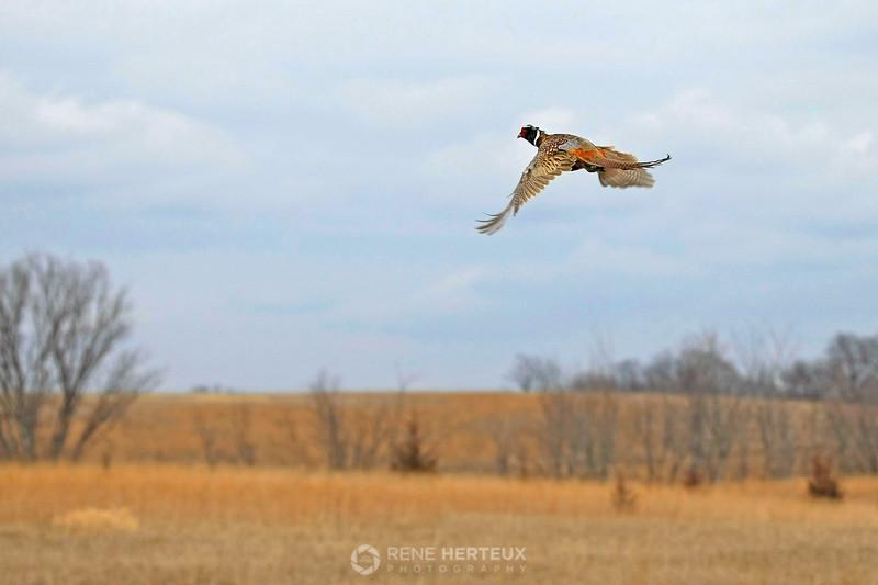 Pheasant in flight