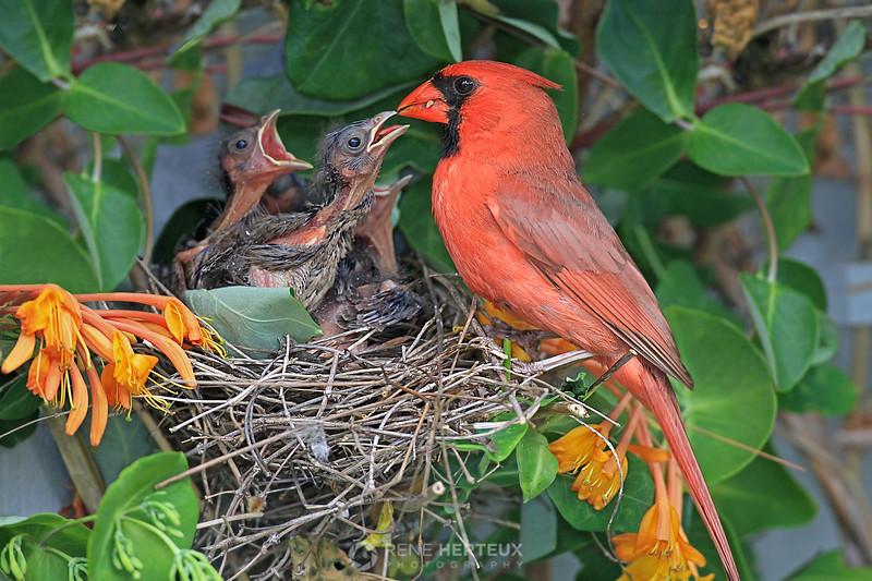 Cardinal feeding babies