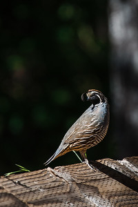 Quail seem to live with their head on a swivel. Always watchful, they are impossible to approach unnoticed.