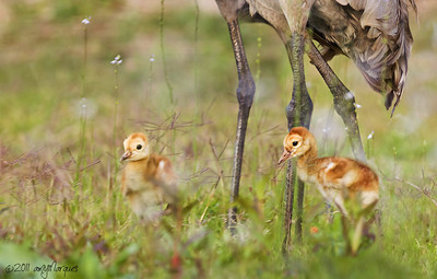 "Babys' first ""field trip"" Three day old Sandhill crane chicks."