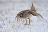 Sharp tailed grouse mating dance