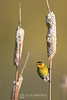 Cape May warbler on cattail