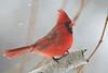 Cardinal on birch