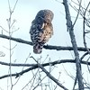 Barred Owl<br /> Busch Wildlife Area <br /> 2004-04-17<br /> <br /> No. 9 on my Lifetime List of Bird Species <br /> Photographed in Missouri
