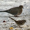 Mourning Dove <br /> and White-throated Sparrow <br /> 2004-02-01<br /> <br /> Mourning Dove is No. 2 on my Lifetime List of Bird Species <br /> Photographed in Missouri.