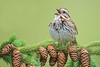 Song sparrow on pine branch