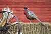 Farmtime pheasant scene