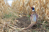 Pheasant in corn field