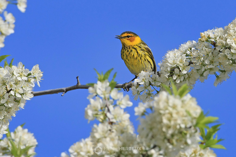 Cape May warbler in blossoms