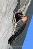 Red bellied woodpecker with berries