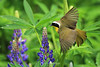 Common Yellowthroat on lupines
