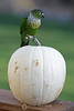 Conure on gourd