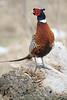 Pheasant on log