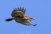 Red bellied woodpecker with gecko