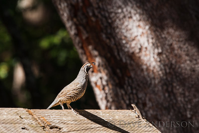 I was wondering if this lizard was going to become lunch, but the quail seemed to ignore it.