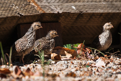 A group of quail chicks coming out of hiding.
