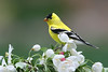 Goldfinch on apple blossoms