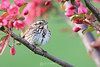 Song sparrow in crabapple tree