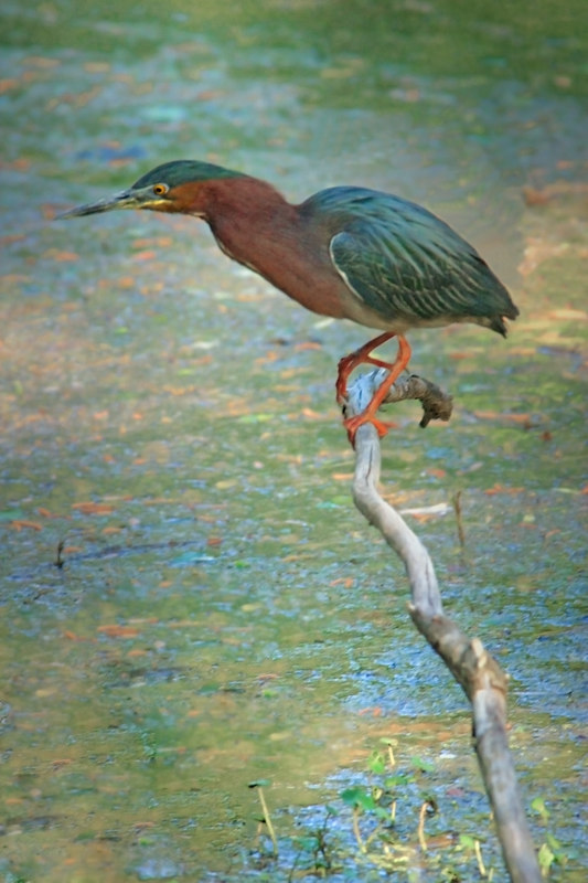 Green Heron in Breeding colors, April 10, 2006