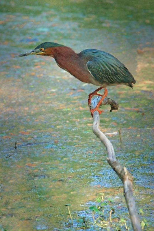 Green Heron in Breeding colors, April 10, 2006