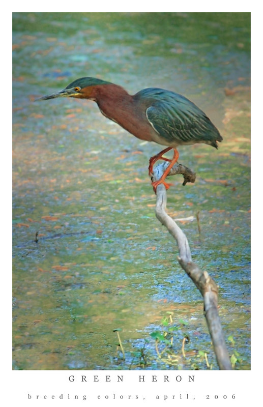 Green Heron in Breeding Colors, poster style frame, taken Mt Pleasant, SC, April 10, 2006