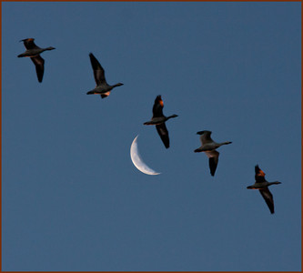 S1$Cuchara$Tom$Snow_Geese_Taking_Flight$2011-09