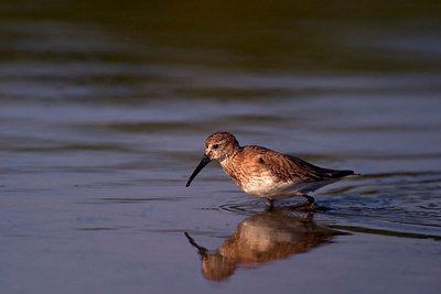 Shore Bird_Sand Piper_FLA_printed_1839