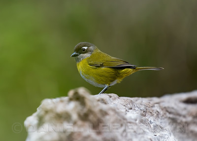 COMMON CHLOROSPINGUS, previously Common Bush-Tanager