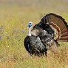 Wild Turkey,  Mather Regional Park, 5-13-14. Cropped image, background elements removed.