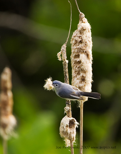 Blue-gray Gnatcatcher male