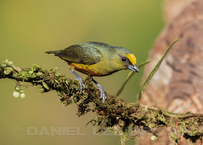OLIVE-BACKED EUPHONIA, male