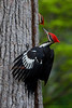 Two male Pileated Woodpeckers going mano a mano in my backyard.