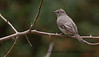 Townsend's Solitaire-This is only the second Virginia state record for this bird.