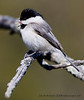 Black-capped Chickadee raspberry