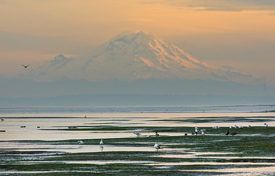 Seabirds in the tidal flats near Point No Point lighthouse.  Mount Rainier in the background.