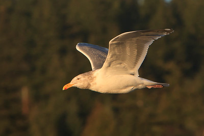 Glaucous-winged x  Western hybrid gull???