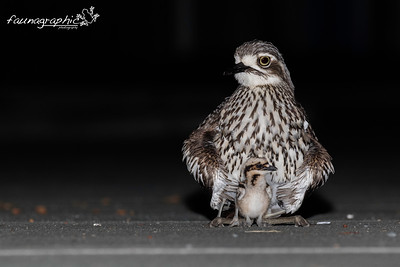 Bush Stone Curlew with Chicks