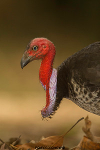 Purple Collared Brush Turkey