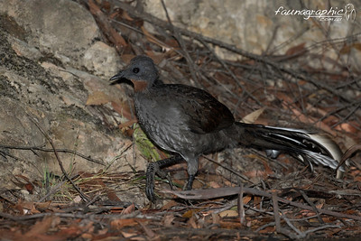 Superb Lyrebird - Female