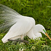 Great Egret at Gatorland Rookery