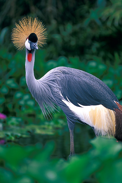 grey crowned crane, Balearica regulorum , is the only living arboreal crane, Three Ring Ranch, Hawaii