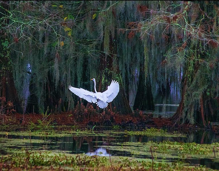 Great Egret - Cypress Island, Layfayette, Louisiana