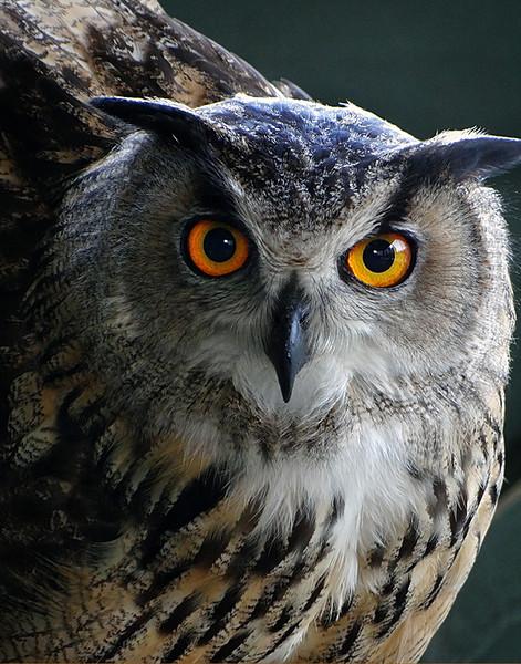 Eurasian Eagle Owl - Cardiff Castle, Cardiff, Wales, UK