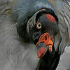 King Vulture - Fort Worth, Texas Zoo