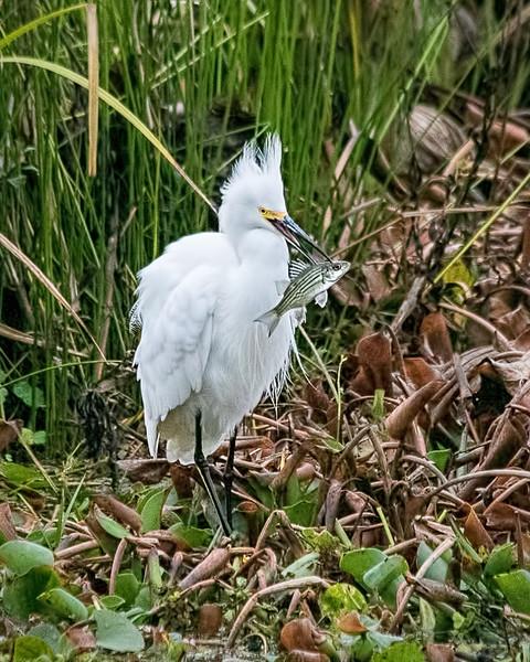 Snowy Egret - Cypress Island, Layfayette, Louisiana