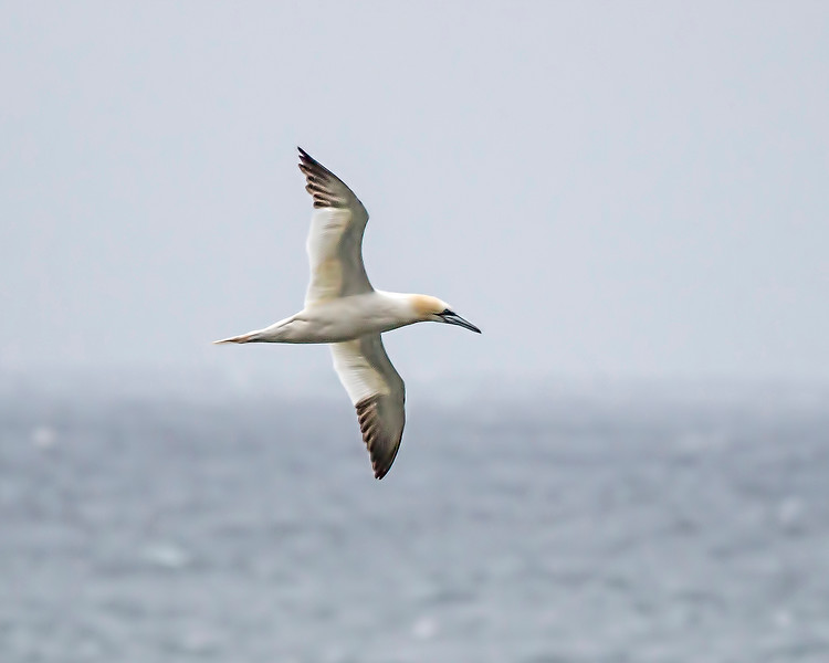 Northern Gannet - Cape Breton Island, Canada